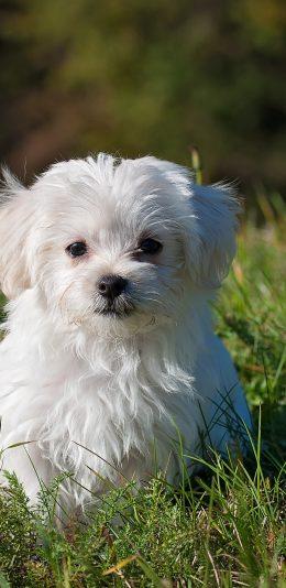 白色泰迪狗