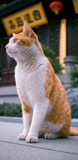 有气质的橘猫壁纸