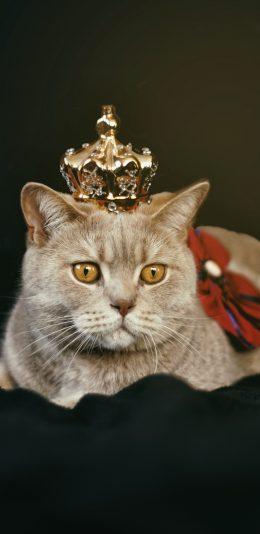 戴皇冠的胖猫咪