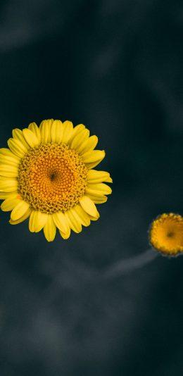 [2688x1242] iphone Xs MAX手机壁纸/黄色向日葵