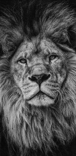 [2436x1125]狮子 黑白 鬓毛 凶猛 苹果手机壁纸图片