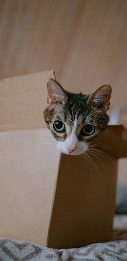 [2436x1125]猫咪 宠物 纸盒 纸箱 苹果手机壁纸图片