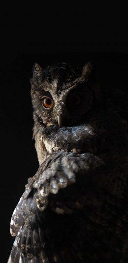 [2436x1125]飞鸟 猫头鹰 犀利 夜行动物 苹果手机壁纸图片
